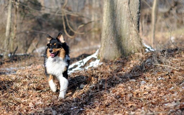 Фото обои осень, лес, собака