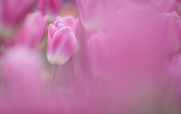 Фото обои поле, фокус, весна, размытость, тюльпаны, розовые, много