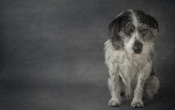 Фото обои взгляд, друг, собака, Terrier