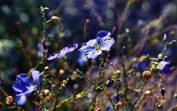 Фото обои макро, цветы, природа, растения, голубые, синие, боке