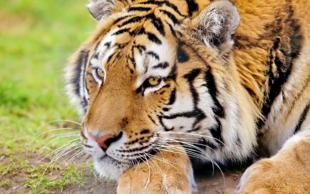 Фото обои смотрит, лапы, тигр, морда, лежит