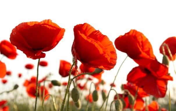 Фото обои белый, фон, маки, красные, бутоны, алые, цветки