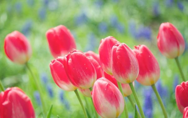 Фото обои цветы, природа, яркие, весна, тюльпаны, розовые, бутоны