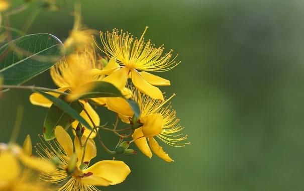 Фото обои листья, цветы, ветка, желтые, зверобой