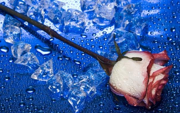 Обои роза, лёд, сердце, фон, капли, вода, макро картинки на ...