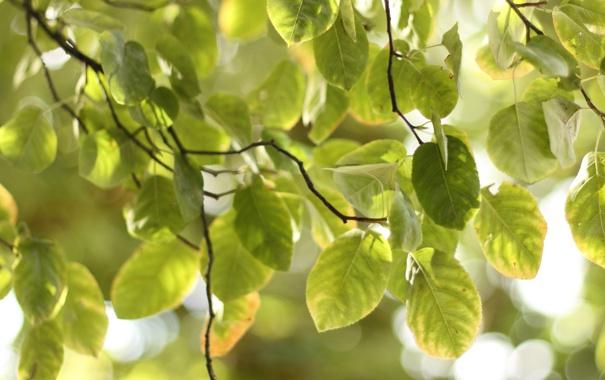 Фото обои зелень, листья, макро, радость, свежесть, природа, дерево