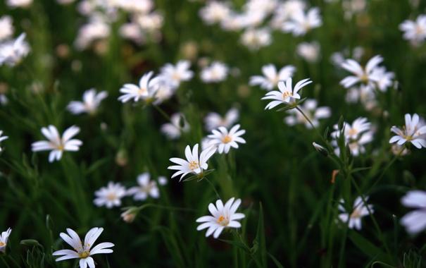 Фото обои зелень, поле, трава, цветы, стебли, поляна, лепестки