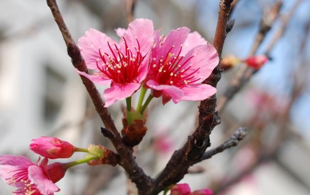Фото обои макро, цветы, ветки, вишня, парк, нежность, красота