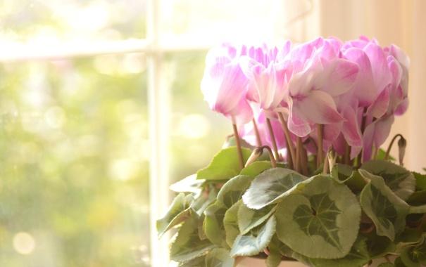 Фото обои листья, цветы, розовые, Цикламены