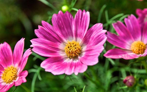 Фото обои цветы, природа, растение, лепестки, сад, луг
