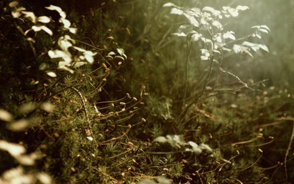 Фото обои листья, иголки, ветки, растение, мох