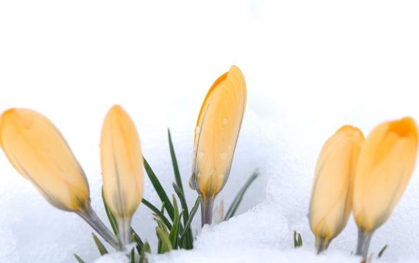 Фото обои снег, цветы, желтые, крокусы