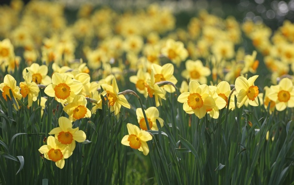 Фото обои поляна, весна, желтые, нарциссы, макро, цветы