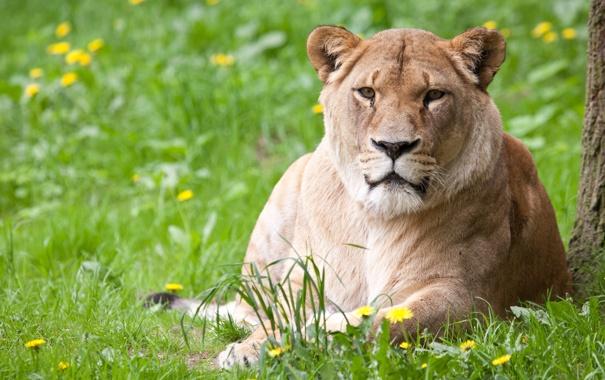 Фото обои кошка, лето, трава, одуванчики, львица
