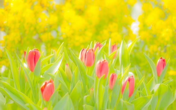 Фото обои поле, лето, свет, тюльпаны