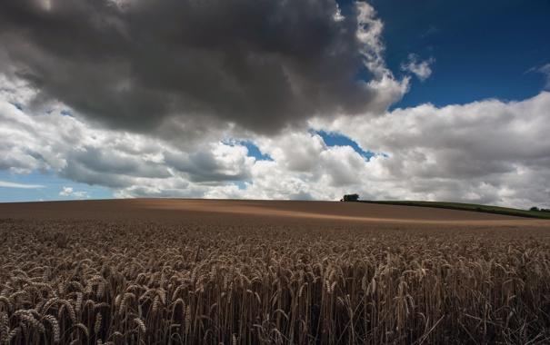 Фото обои поле, небо, природа, колосья