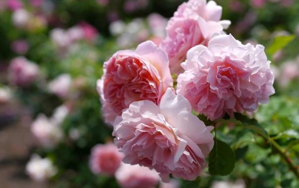 Фото обои макро, розы, ветка
