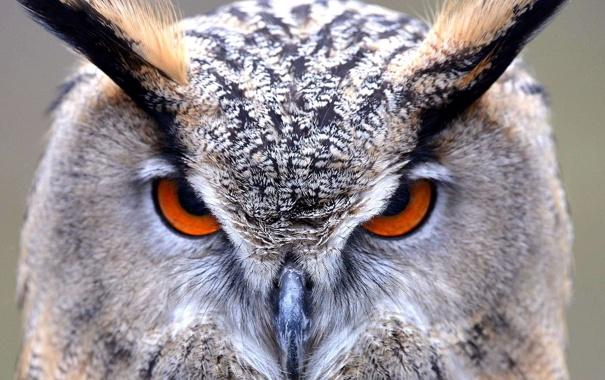 Фото обои взгляд, птицы, крупный план, филин