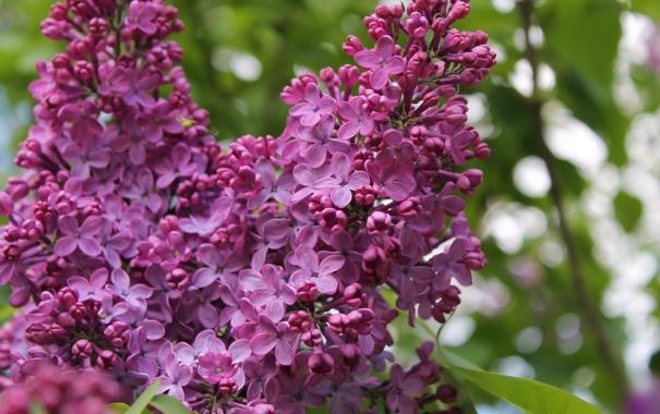 Фото обои цветы, ветка, лепестки, цветение, сирень