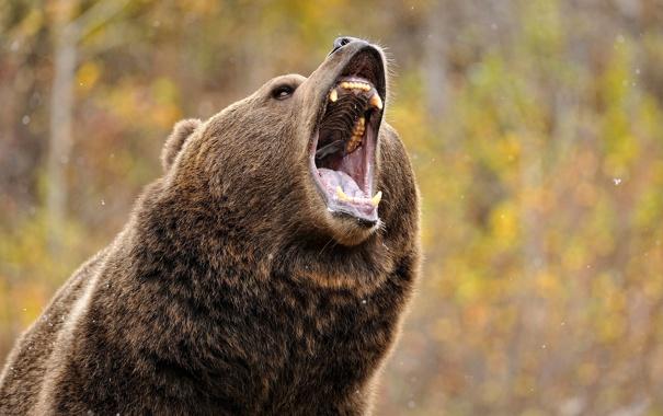 Фото обои гризли, медведь, пасть