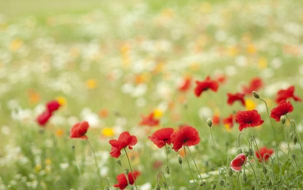 Фото обои трава, цветы, маки, лепестки, красные