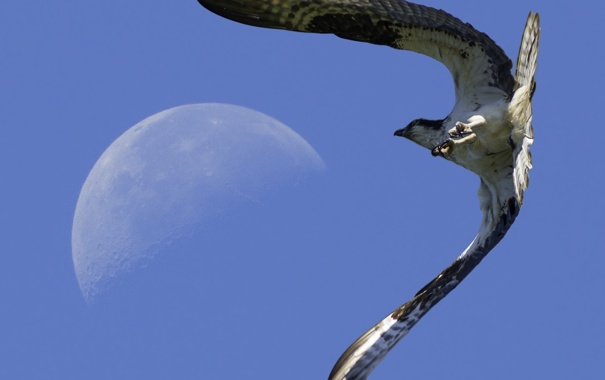 Фото обои небо, полет, птица, луна, крылья, когти