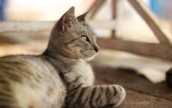 Фото обои кошка, кот, серый, шерсть