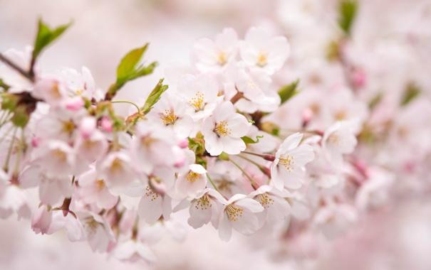 Фото обои цветы, розовая, нежность, ветка, весна, лепестки, размытость