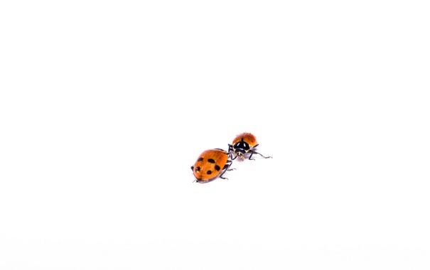 Фото обои Ladybug, Chuck, Hippodamia variegata