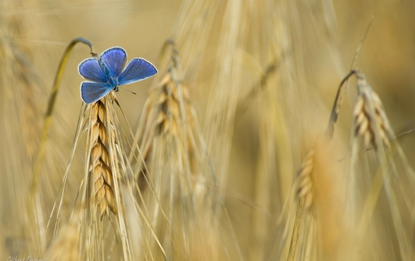 Фото обои поле, бабочка, цвет, колос