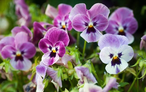 Фото обои цветы, нежные, анютины глазки, виола