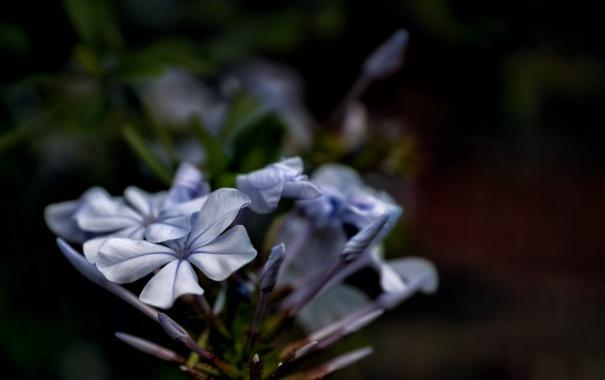 Фото обои цветок, лепестки, голубые