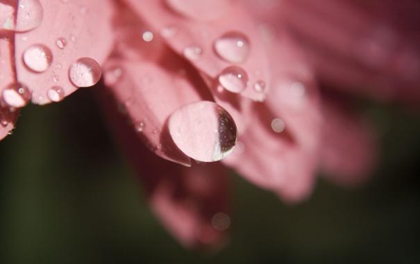 Фото обои цветок, капли, макро, роса, розовый, лепестки