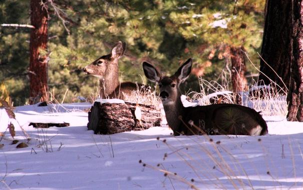 Фото обои зима, лес, США, олени, штат Калифорния, горы Сьерра-Невада