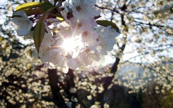 Фото обои солнце, лучи, деревья, цветы, вишня, ветка, весна