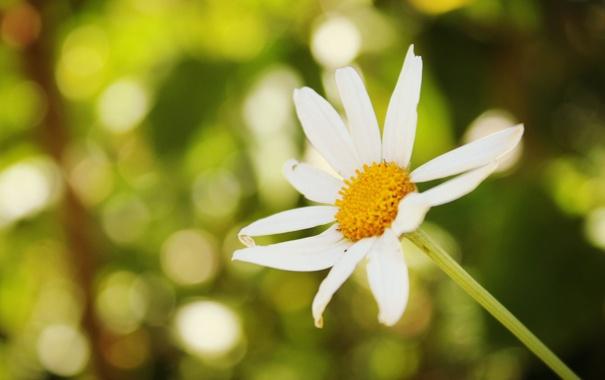 Фото обои цветок, цветы, зеленый, фон, widescreen, обои, ромашка