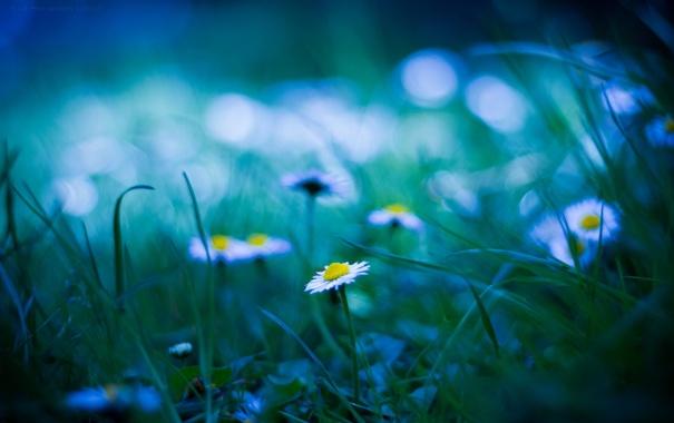 Фото обои трава, блики, поляна, ромашки, размытость