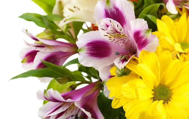 Фото обои белый фон, Альстромерия, белые хризантемы, цветы