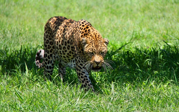 Фото обои хищник, луг, леопард, leopard, пятнистая кошка