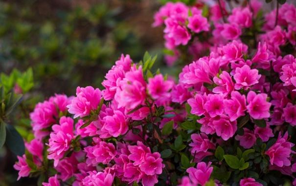 Фото обои куст, цветение, азалия