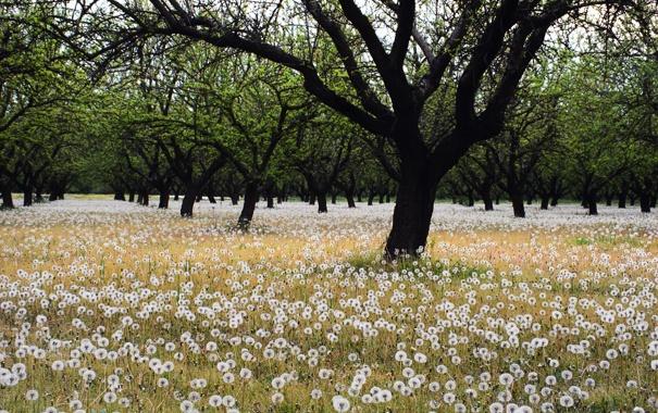 Фото обои поле, деревья, одуванчики