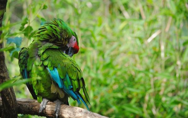 Фото обои лес, природа, птица, ветка, попугай