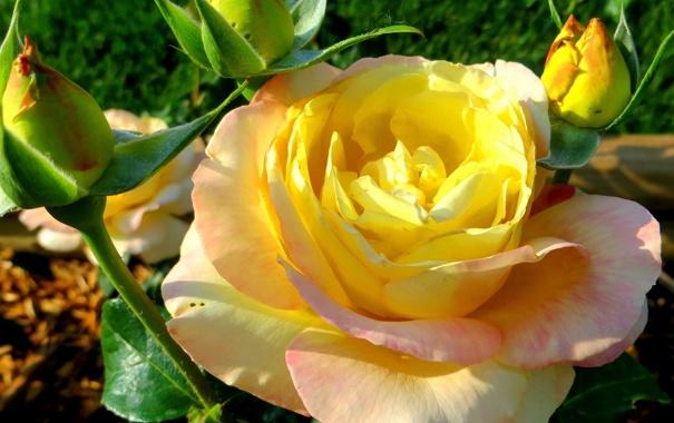 Фото обои макро, роза, бутоны