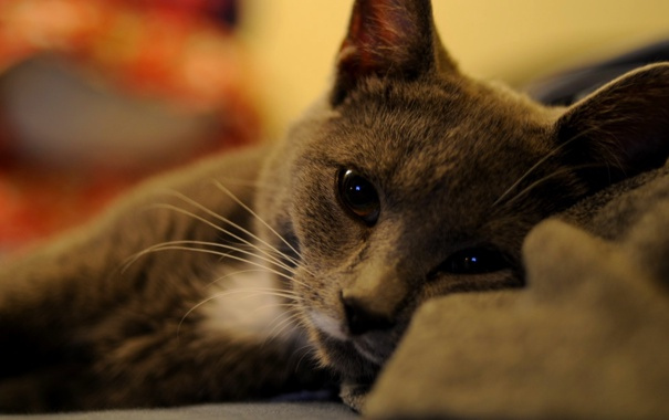 Фото обои кошка, кот, взгляд, отдых