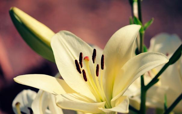 Фото обои белый, макро, цветы, фон, обои