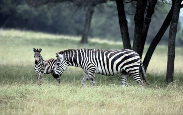 Фото обои zebra, зебры, семейство
