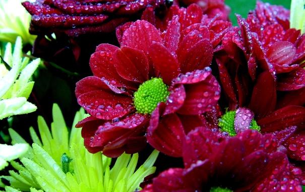 Фото обои Цветы, зеленая серцевинка, свекольный цвет