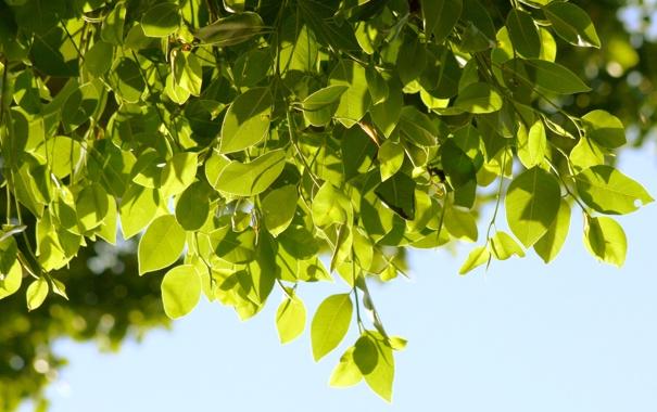 Фото обои листья, природа, фон, дерево, обои