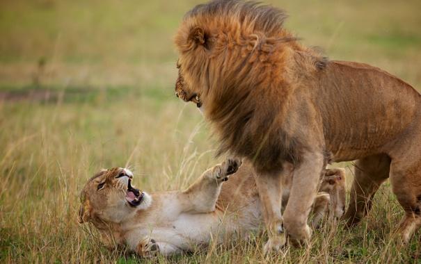 Фото обои лев, львица, разборки