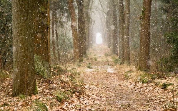 Фото обои лес, снег, деревья, природа